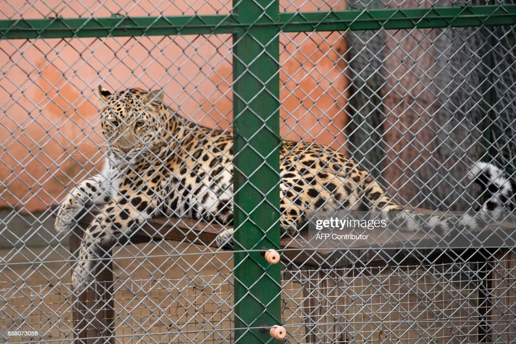 In this picture taken on August 23, 2017, a leopard sits inside its cage at the Hengdaohezi Siberian Tiger Park in Hengdaohezi township on the outskirts of Mudanjiang. While Chinese rangers and conservationists work to increase the Siberian tigers' population in the wild, the country also hosts about 200 captive tiger breeding centres, but many have been embroiled in controversy. Parks like Hengdaohezi have repeatedly come under fire from conservationists who accuse them of being 'tiger farms' that breed the endangered cats for profit with no intention of returning them to the wild. / AFP PHOTO / Nicolas ASFOURI / TO GO WITH China-conservation-animal, FEATURE by Yanan WANG