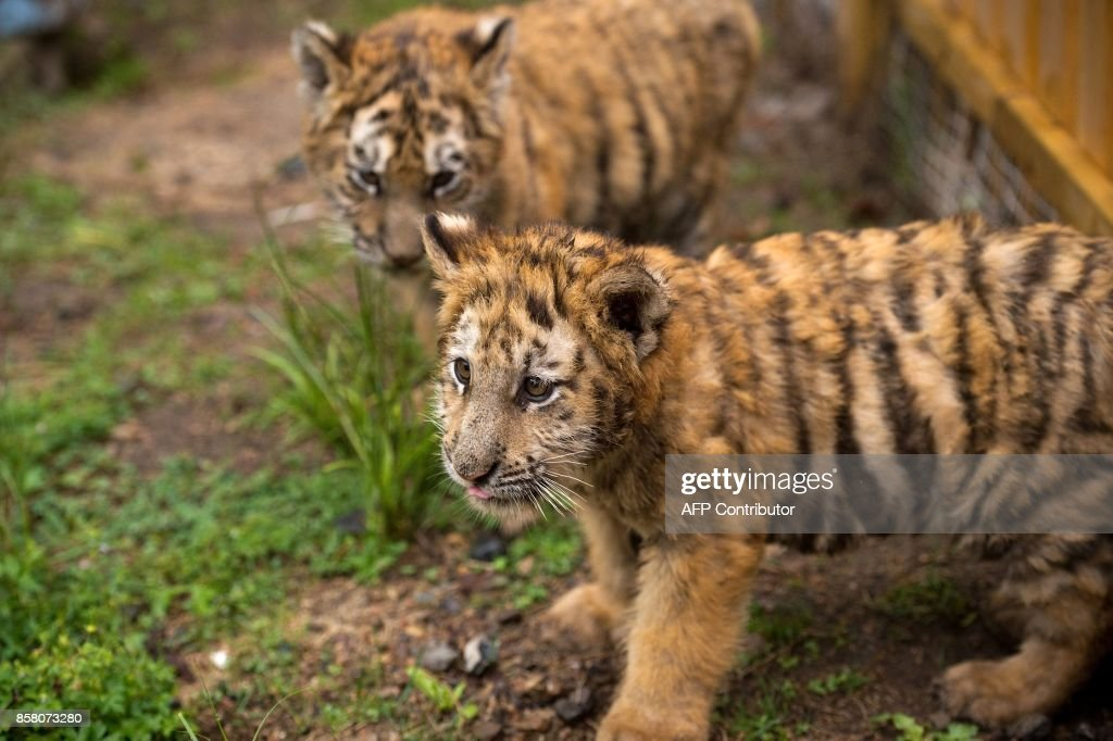 In this picture taken on August 23, 2017, Siberian tiger cubs are seen at the Hengdaohezi Siberian Tiger Park in Hengdaohezi township on the outskirts of Mudanjiang. While Chinese rangers and conservationists work to increase the Siberian tigers' population in the wild, the country also hosts about 200 captive tiger breeding centres, but many have been embroiled in controversy. Parks like Hengdaohezi have repeatedly come under fire from conservationists who accuse them of being 'tiger farms' that breed the endangered cats for profit with no intention of returning them to the wild. / AFP PHOTO / Nicolas ASFOURI / TO GO WITH China-conservation-animal, FEATURE by Yanan WANG
