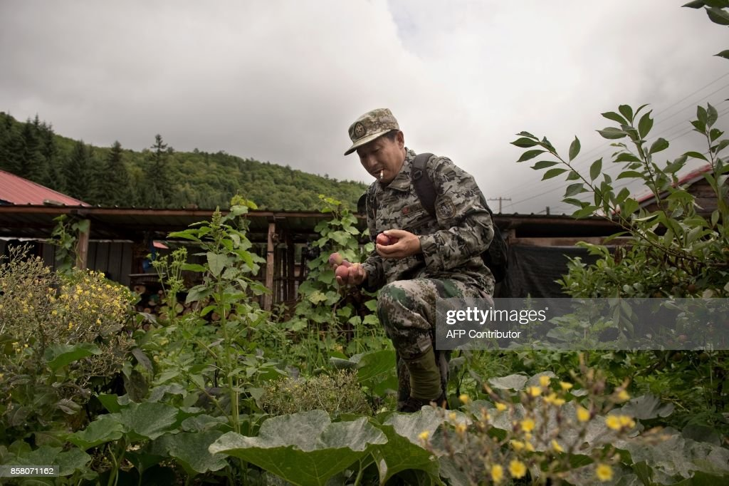 In this picture taken on August 24, 2017, Liang Fengen, a ranger at the Nuanquan River Forestry Centre, picks fruit from his garden as he gets ready to survey an area in Suiyang town, Mudanjiang municipality. In the northern mountains bordering Russia, everyone knew the spry Chinese man as a skilled and ruthless hunter -- the kind who once killed a mother black bear as her cubs looked on. But instead of stalking the woods for prey, Liang Fengen now roams the hills without a rifle, working as a ranger to save the area's endangered Siberian tiger population and protect other wildlife. / AFP PHOTO / Nicolas ASFOURI / TO GO WITH China-conservation-animal, FEATURE by Yanan WANG