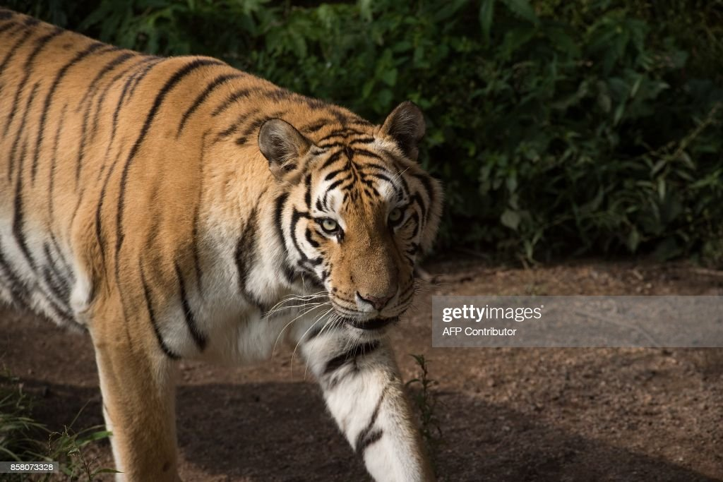 In this picture taken on August 25, 2017, a Siberian tiger is seen at the Hengdaohezi Siberian Tiger Park in Hengdaohezi township on the outskirts of Mudanjiang. While Chinese rangers and conservationists work to increase the Siberian tigers' population in the wild, the country also hosts about 200 captive tiger breeding centres, but many have been embroiled in controversy. Parks like Hengdaohezi have repeatedly come under fire from conservationists who accuse them of being 'tiger farms' that breed the endangered cats for profit with no intention of returning them to the wild. / AFP PHOTO / Nicolas ASFOURI / TO GO WITH China-conservation-animal, FEATURE by Yanan WANG