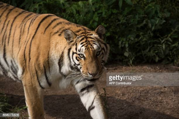 In this picture taken on August 25 a Siberian tiger is seen at the Hengdaohezi Siberian Tiger Park in Hengdaohezi township on the outskirts of...