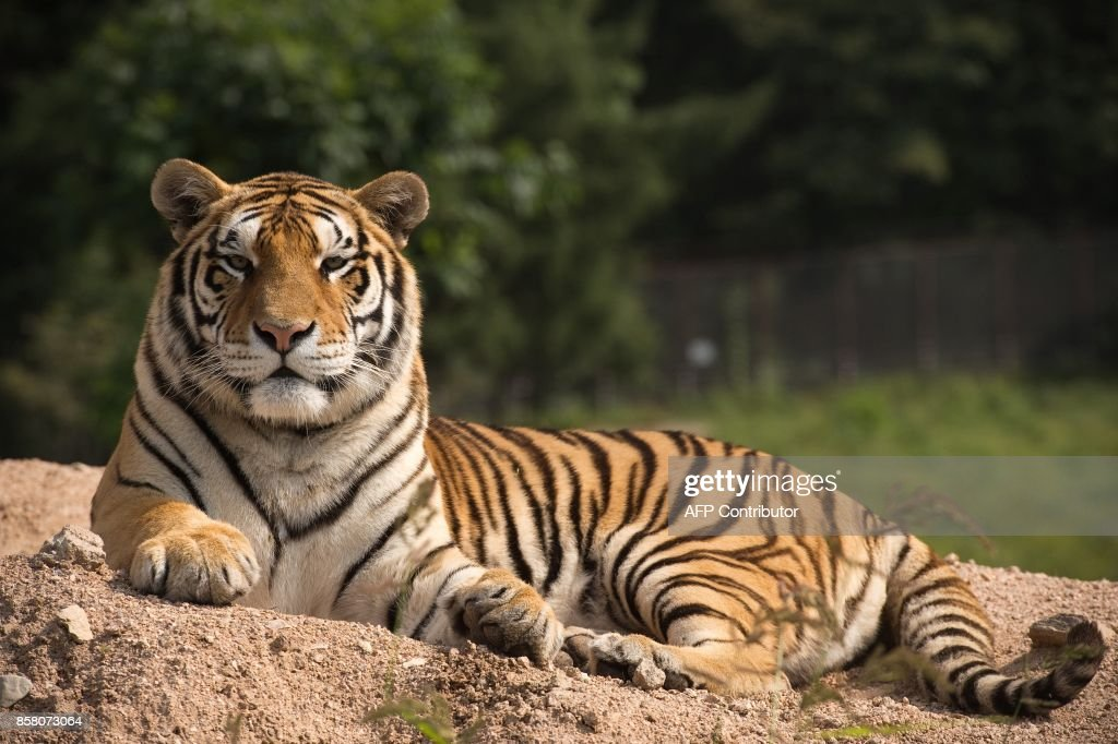 In this picture taken on August 25, 2017, a Siberian tiger sits in the Hengdaohezi Siberian Tiger Park in Hengdaohezi township on the outskirts of Mudanjiang. While Chinese rangers and conservationists work to increase the Siberian tigers' population in the wild, the country also hosts about 200 captive tiger breeding centres, but many have been embroiled in controversy. Parks like Hengdaohezi have repeatedly come under fire from conservationists who accuse them of being 'tiger farms' that breed the endangered cats for profit with no intention of returning them to the wild. / AFP PHOTO / Nicolas ASFOURI / TO GO WITH China-conservation-animal, FEATURE by Yanan WANG