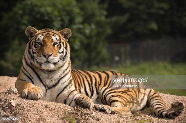 In this picture taken on August 25 a Siberian tiger sits in the Hengdaohezi Siberian Tiger Park in Hengdaohezi township on the outskirts of...