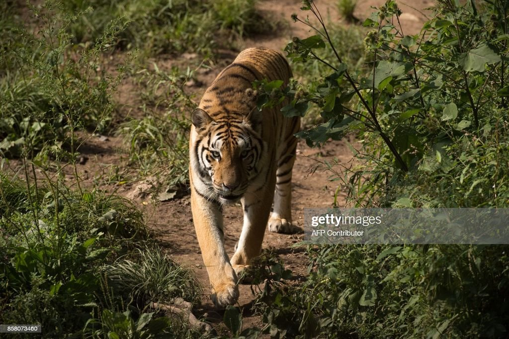 In this picture taken on August 25, 2017, a Siberian tiger walks in the Hengdaohezi Siberian Tiger Park in Hengdaohezi township on the outskirts of Mudanjiang. While Chinese rangers and conservationists work to increase the Siberian tigers' population in the wild, the country also hosts about 200 captive tiger breeding centres, but many have been embroiled in controversy. Parks like Hengdaohezi have repeatedly come under fire from conservationists who accuse them of being 'tiger farms' that breed the endangered cats for profit with no intention of returning them to the wild. / AFP PHOTO / Nicolas ASFOURI / TO GO WITH China-conservation-animal, FEATURE by Yanan WANG