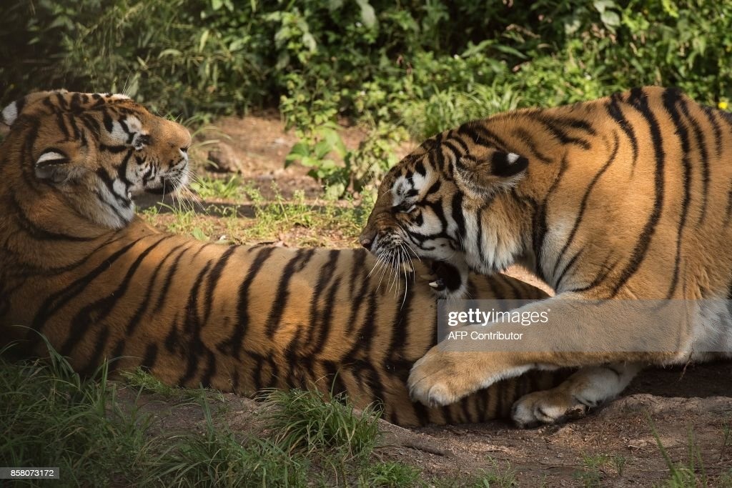 In this picture taken on August 25, 2017, Siberian tigers are seen at the Hengdaohezi Siberian Tiger Park in Hengdaohezi township on the outskirts of Mudanjiang. While Chinese rangers and conservationists work to increase the Siberian tigers' population in the wild, the country also hosts about 200 captive tiger breeding centres, but many have been embroiled in controversy. Parks like Hengdaohezi have repeatedly come under fire from conservationists who accuse them of being 'tiger farms' that breed the endangered cats for profit with no intention of returning them to the wild. / AFP PHOTO / Nicolas ASFOURI / TO GO WITH China-conservation-animal, FEATURE by Yanan WANG