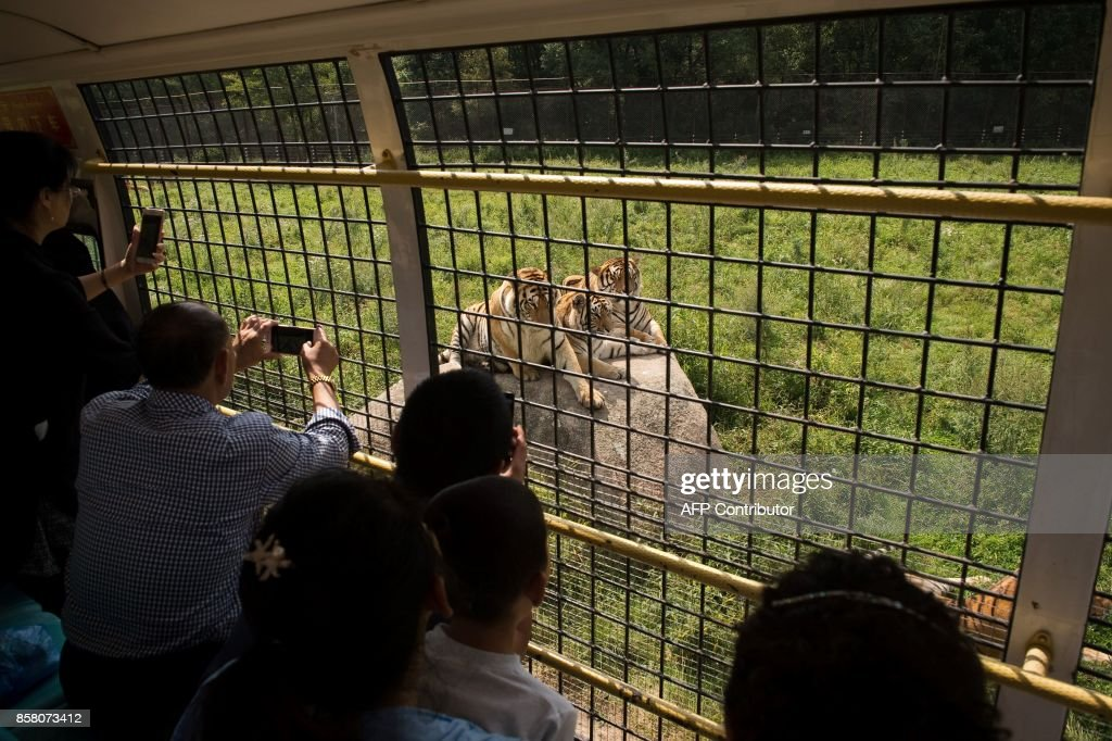 In this picture taken on August 25, 2017, Siberian tigers are seen from the inside of a bus transporting visitors at the Hengdaohezi Siberian Tiger Park in Hengdaohezi township on the outskirts of Mudanjiang. While Chinese rangers and conservationists work to increase the Siberian tigers' population in the wild, the country also hosts about 200 captive tiger breeding centres, but many have been embroiled in controversy. Parks like Hengdaohezi have repeatedly come under fire from conservationists who accuse them of being 'tiger farms' that breed the endangered cats for profit with no intention of returning them to the wild. / AFP PHOTO / Nicolas ASFOURI / TO GO WITH China-conservation-animal, FEATURE by Yanan WANG