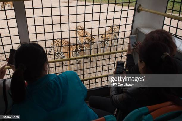 In this picture taken on August 25 Siberian tigers are seen from the inside of a bus transporting visitors at the Hengdaohezi Siberian Tiger Park in...