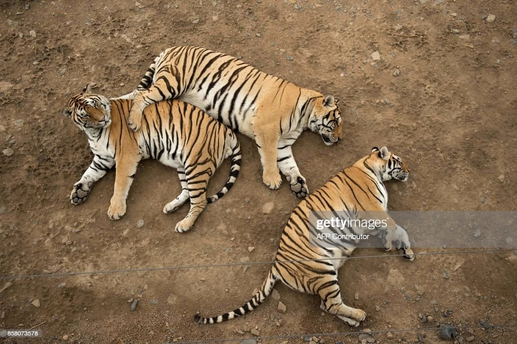 In this picture taken on August 25, 2017, Siberian tigers rest in the Hengdaohezi Siberian Tiger Park in Hengdaohezi township on the outskirts of Mudanjiang. While Chinese rangers and conservationists work to increase the Siberian tigers' population in the wild, the country also hosts about 200 captive tiger breeding centres, but many have been embroiled in controversy. Parks like Hengdaohezi have repeatedly come under fire from conservationists who accuse them of being 'tiger farms' that breed the endangered cats for profit with no intention of returning them to the wild. / AFP PHOTO / Nicolas ASFOURI / TO GO WITH China-conservation-animal, FEATURE by Yanan WANG