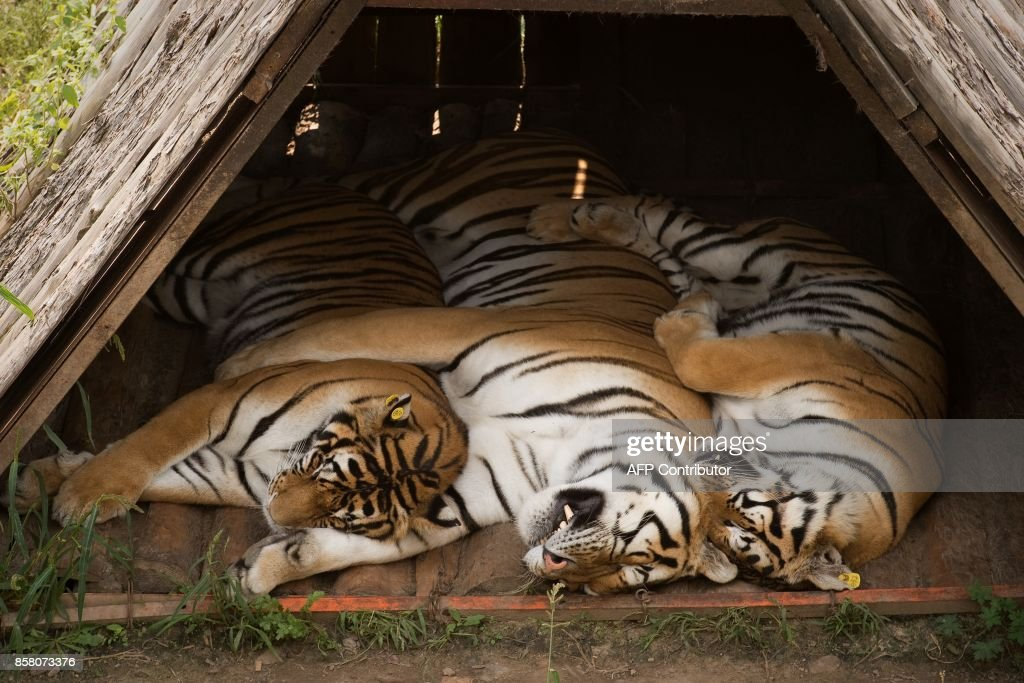 In this picture taken on August 25, 2017, Siberian tigers sleep under a shelter at the Hengdaohezi Siberian Tiger Park in Hengdaohezi township on the outskirts of Mudanjiang. While Chinese rangers and conservationists work to increase the Siberian tigers' population in the wild, the country also hosts about 200 captive tiger breeding centres, but many have been embroiled in controversy. Parks like Hengdaohezi have repeatedly come under fire from conservationists who accuse them of being 'tiger farms' that breed the endangered cats for profit with no intention of returning them to the wild. / AFP PHOTO / Nicolas ASFOURI / TO GO WITH China-conservation-animal, FEATURE by Yanan WANG