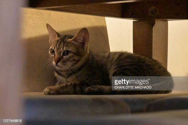 In this picture taken on August 4 rescued feral kitten Sir Ian McKellen hides underneath a dinner table as cat owner Lauren England speaks to cat...