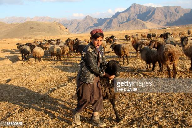 In this picture taken on December 14 a young shepherd plays with his sheep on the outskirts of Logar province