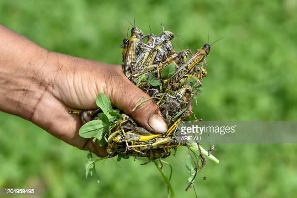 In this picture taken on February 23 a farmer holds dead locusts in Pipli Pahar village in Pakistan's central Punjab province Pakistan's farmers are...