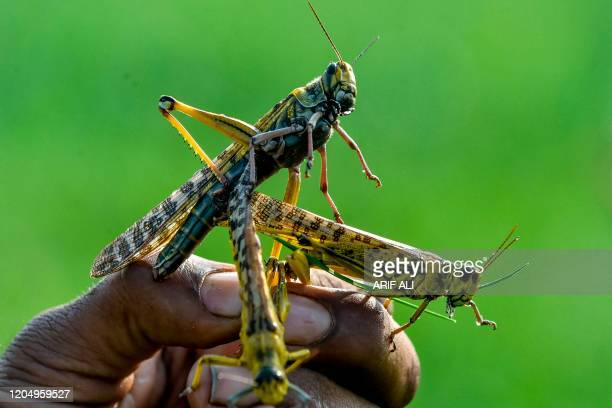 In this picture taken on February 23 a farmer holds locusts in Pipli Pahar village in Pakistan's central Punjab province Pakistan's farmers are...