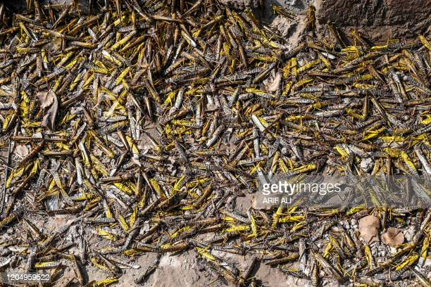 In this picture taken on February 23 dead locusts are seen on the ground at a farm in Pipli Pahar village in Pakistan's central Punjab province...