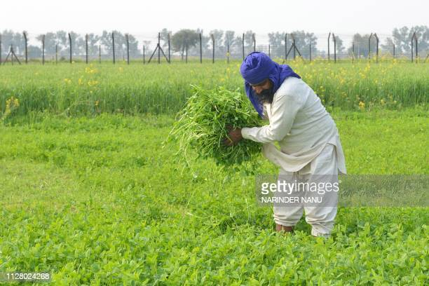 In this picture taken on February 27 Indian farmer harvests fodder for his cattle in a field beside the IndiaPakistan border fence in a village on...