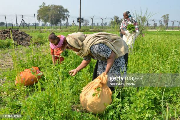 In this picture taken on February 27 Indian villagers harvest spinach in a field beside the IndiaPakistan border fence in a village on the outskirts...