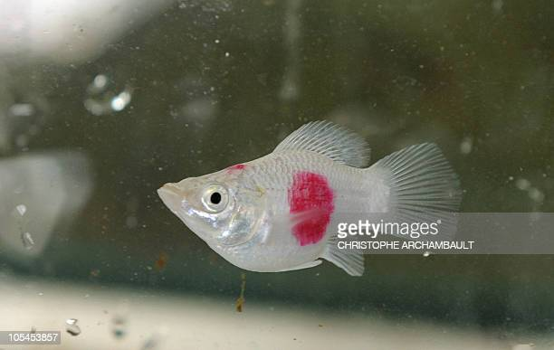 In this picture taken on January 20 2009 in Bangkok a molly fish with Japanese flags tattooed on its sides swims in an aquarium at the Qian Hu fish...