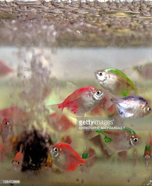In this picture taken on January 20 2009 in Bangkok coloured fish swim in an aquarium at the Qian Hu fish farm A small brightly coloured molly fish...