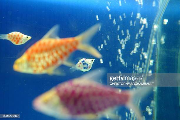 In this picture taken on January 20 2009 in Nakhon Pathom province west of Bangkok a tattooed molly fish swims along with other tattooed fish in an...