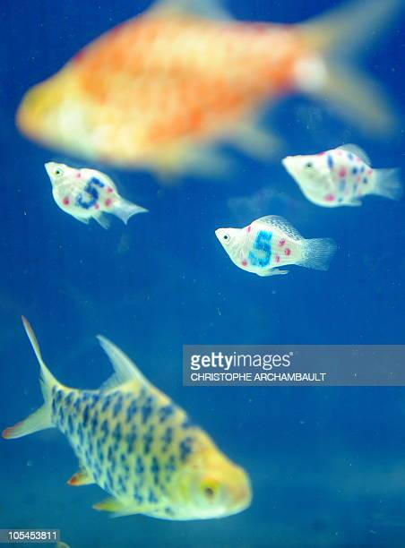 In this picture taken on January 20 2009 in Nakhon Pathom province west of Bangkok tattooed molly fish swim along with other tattooed fish in an...
