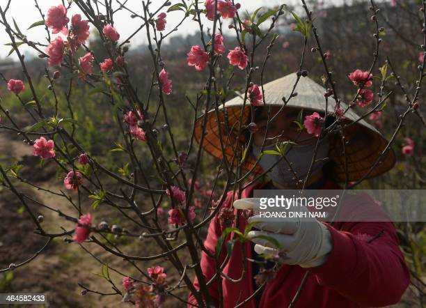 In this picture taken on January 22 2014 a farmer cuts branches of peach blossoms for sale at the Red River's Southern bank in Hanoi The peach...