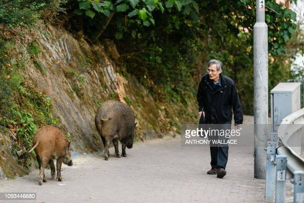 In this picture taken on January 25 a man walks past wild boars in Hong Kong's Aberdeen Park As Hong Kong prepares to celebrate the Year of the Pig...