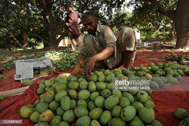 In this picture taken on June 22 a labourer sorts mangoes before packing them into boxes at a farm in Multan. - Dwindling harvests, drooping demand...