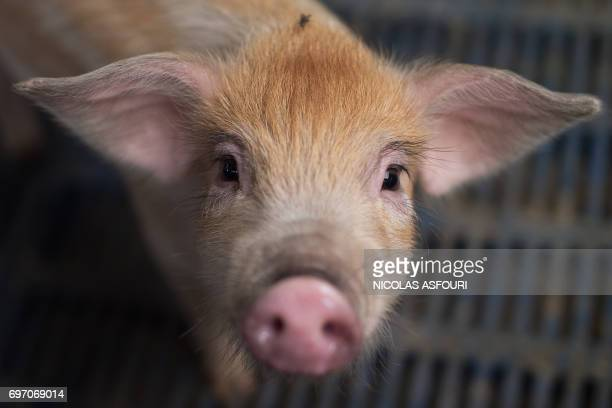 In this picture taken on June 5 2017 a piglet is seen at a pig farm on the outskirts of Beijing Millions of backyard pig farmers in China are being...