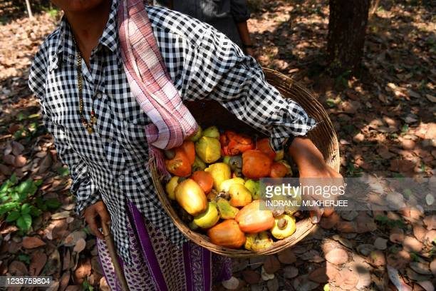In this picture taken on March 13 a worker walks back after harvesting cashew apples at a farm belonging to the Madame Rosa distillery at Pilerne in...