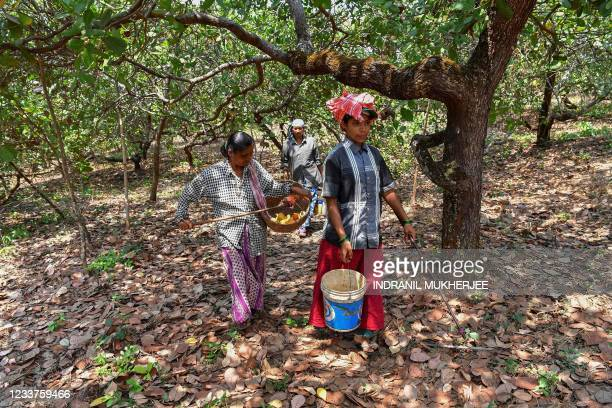 In this picture taken on March 13 workers walk back after harvesting cashew apples at a farm belonging to the Madame Rosa distillery at Pilerne in...