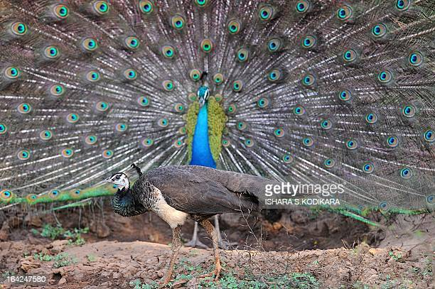 In this picture taken on March 21 2013 a female peacock walks in front of a male peacock displaying its feathers at Yala National Park in the...
