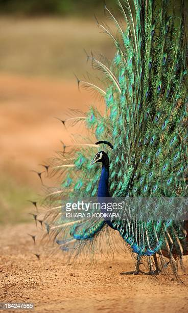 In this picture taken on March 21 2013 a male peacock displays its feathers at Yala National Park in the southern district of Yala around 250 kms...