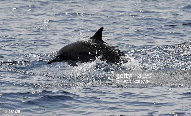 In this picture taken on March 26 shows a dolphin swimming in the deep waters off the southern Sri Lankan town of Mirissa. Pods of Blue, Sperm and...