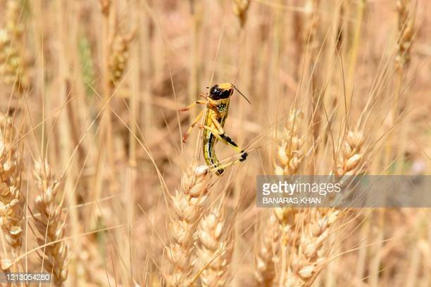 In this picture taken on May 14 2020 a locust is pictured in a field in Pishin district some 60 km form Quetta Pakistan's farmers are struggling to...