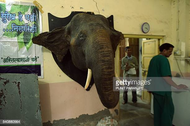 In this picture taken on May 5 a stuffed elephant head hangs on a wall inside the taxidermy centre at the Sanjay Gandhi National park in the Indian...
