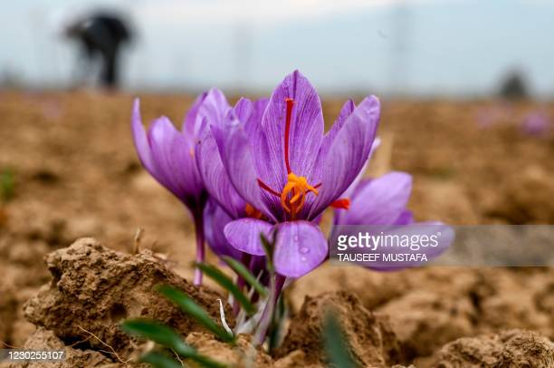 In this picture taken on November 1 a saffron flower is seen in a field in Pampore, south of Srinagar. - Dry conditions blamed on climate change have...