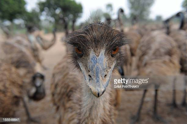 In this picture taken on November 1 an emu looks at the camera at an Indian emu breeding facility at VasnaRathod village near Dehgam some 40kms from...