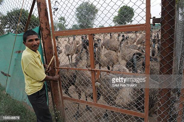 In this picture taken on November 1 an Indian caretaker prepares to open a gate at an emu breeding facility at VasnaRathod village near Dehgam some...