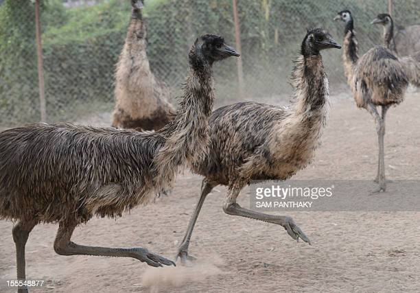 In this picture taken on November 1 emus run at an Indian emu breeding facility at VasnaRathod village near Dehgam some 40kms from Ahmedabad...
