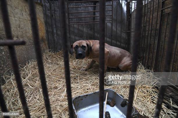 In this picture taken on November 28 a dog looks out from a cage at a dog farm during a rescue event involving the closure of the dog farm organised...