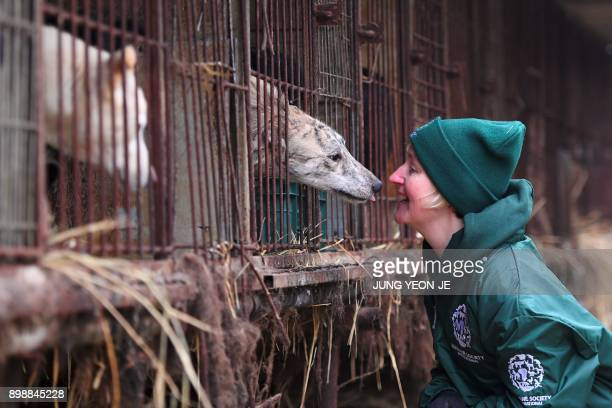 In this picture taken on November 28 Wendy Higgins of the Humane Society International interacts with a dog at a dog farm during a rescue event...