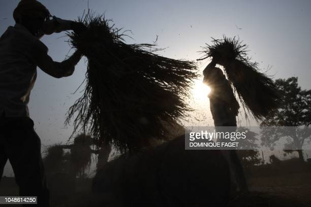 In this picture taken on October 9 Indian farmers separate husk from harvest wheat grain in a field on the outskirts of Sonipat in the state of...