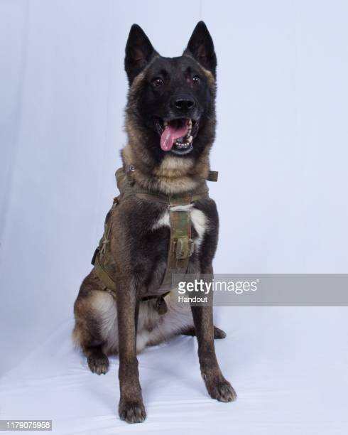 In this undated handout image provided by the Department of Defense the military working dog who sustained minor injuries during the raid on ISIS...