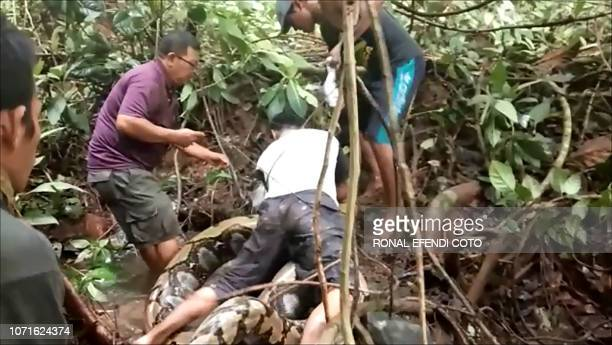 In this video grab taken on November 24 2018 villagers try to capture a large python in Padang Pariaman in West Sumatra A group of Indonesian...