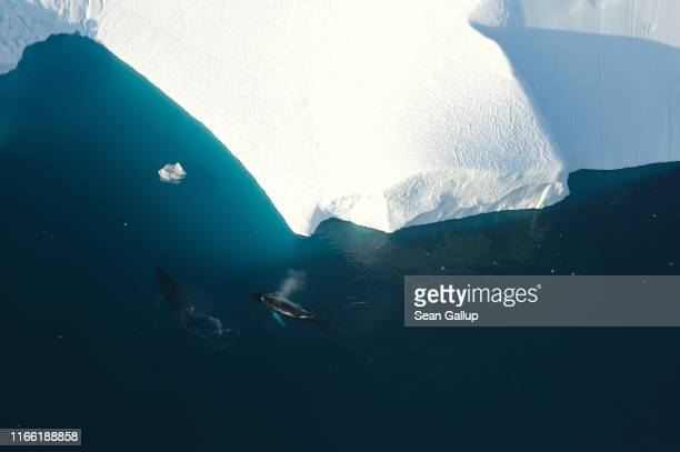 In this view from an airplane humpback whales swim next to an iceberg at the mouth of the Ilulissat Icefjord on August 04 2019 near Ilulissat...