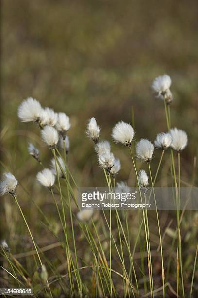 in those old cotton fields... - magnoliopsida stock photos and pictures