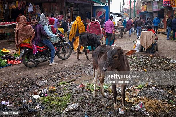 in Varanasi India Friday Jan 22 2016 Indians walk in and around cows that gather on the streets For Hindus cows are sacred and cannot be slaughtered...