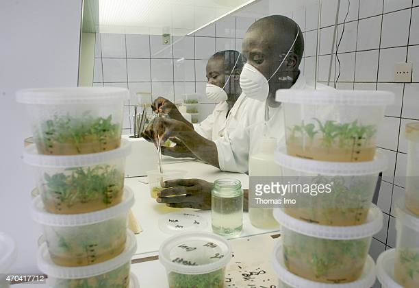 In vitro production of plants used to produce antimalaria drugs at the laboratory of the pharmaceutical company Pharmakina on October 31 2004 in...