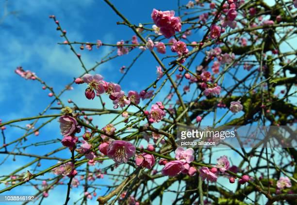 In voller Blüte steht am in Düsseldorf bei Temperaturen um die 2 Grad eine Japanische Blütenkirsche im Japanischen Garten des EKOHaus der Japanischen...