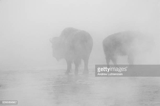 In Yellowstone National Park wild buffalo stay warm in the cold winter by soaking in the warm steam of natural geysers in the area These buffalo are...